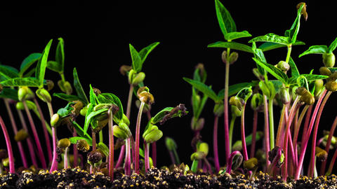 Mung Beans Germination on Black Background Footage