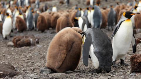 King Penguins On South Georgia Island Footage