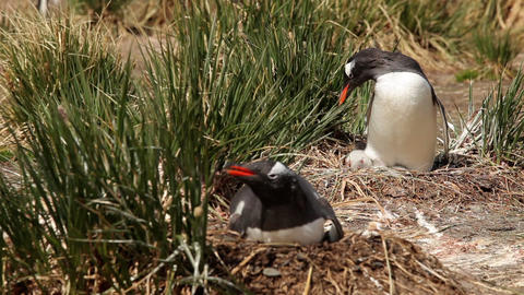 Gentoo Penguins On Their Nests Footage