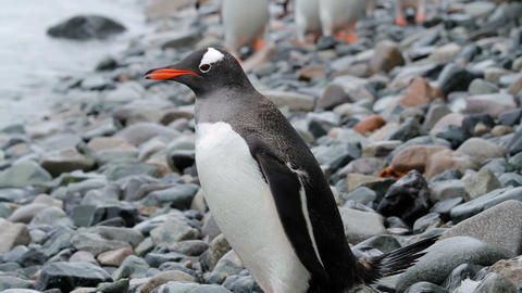 Gentoo Penguins in Antarctica Stock Video Footage