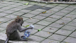 Funny monkey forest plays a bottle in Indonesia Footage