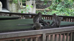 Family ideal monkey on a background of a wooden structure in Indonesia Footage