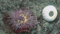 Sea anemone actinia on a stone floor Footage