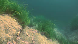 Thickets of green grass, seaweed on the sea floor Footage