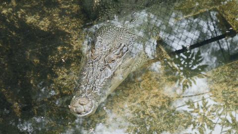 Crocodiles at Palawan Wildlife Rescue and Conservation Center Footage