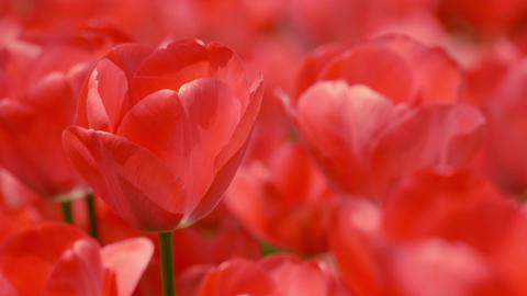 Tulip 01 Footage