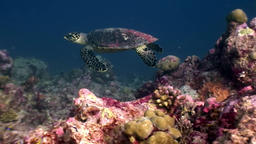 Sea turtle beautifully floats on clean clear underwater seabed in Maldives Footage