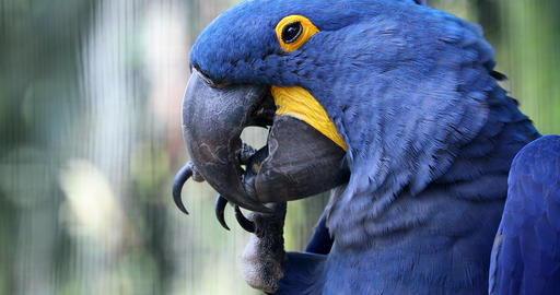 Beautiful Hyacinth Macaw Parrot - Closeup Portrait Footage