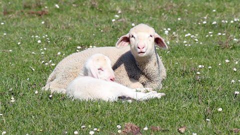 Lambs on pasture Footage