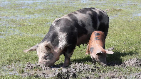 Pigs in a mud farm scene Footage