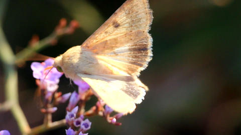 Butterfly moth proboscis drinking nectar from blue flowers of limonium Footage