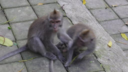 Monkeys play in Bali Footage