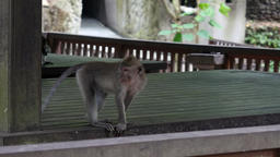 Monkeys playing in Bali Footage