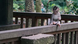 Ape baby with adult animals in Bali Stock Video Footage