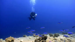 Scuba divers and school of fish in coral reefs underwater in Red sea Footage