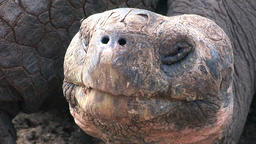 Lonely George is world famous tortoise turtle 400 years old in Galapagos Footage
