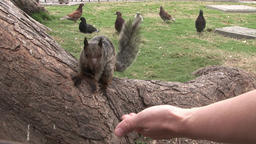Squirrel takes nut from hand of man on Galapagos Islands Footage