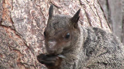 Red Squirrel gnaws nuts close up on Galapagos Islands Footage