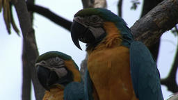 Green parrot Ara birds on water of Galapagos Islands Footage