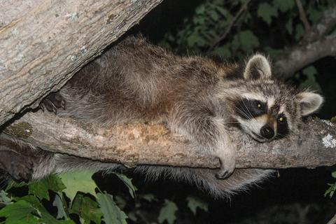 Cute Raccoon in a Tree フォト