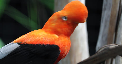 Beautiful Andean Cock Of The Rock Footage