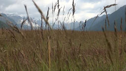 Wheat golden spikelets in mountains on background sky and clouds in New Zealand Footage
