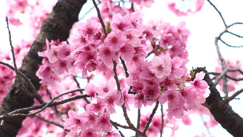 TOKYO, JAPAN - APRIL 2018 : CHERRY BLOSSOMS in Tokyo GIF