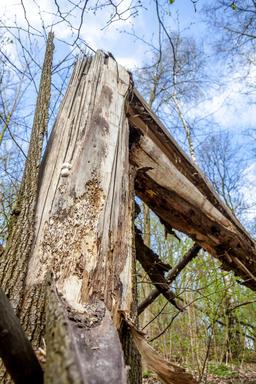 Broken tree due to insects plague Fotografía