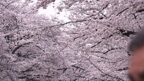 TOKYO, JAPAN - APRIL 2018 : CHERRY BLOSSOMS in Tokyo Footage