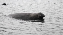 Seal tom male beast in water of the Falkland Islands in Antarctica Footage