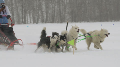 Husky dog team with rider participates in the race Archivo