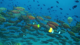 School of red tropical fish swim on reef in sea Footage