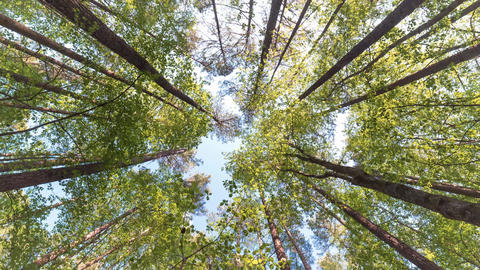 Looking up at a forest canopy near sunset Footage