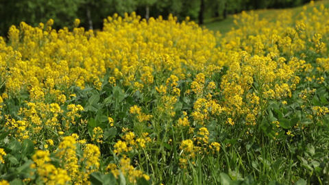 yellow wildflowers in the meadow swaying in the wind Footage
