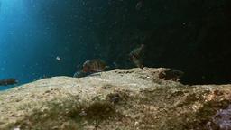 Striped fish in bush lake Yucatan Mexican cenote Footage
