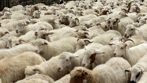 Herd of Sheeps on a Mountain Pass Footage