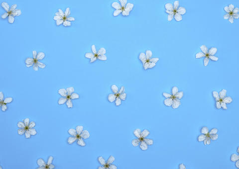 blue background with blooming white flowers of cherry Fotografía