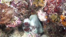 Octopus devilfish poulpe on background of clear seabed underwater of Maldives Footage