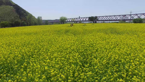 Yuchae Canola Flower Blooming in Gimhae Railbike 17 Archivo