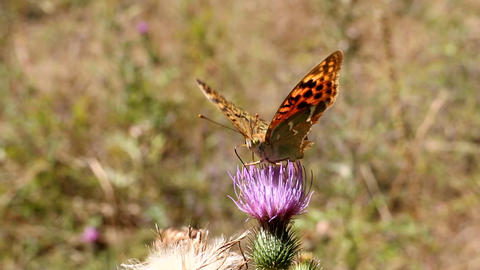 Signs of autumn. Old pale wounded butterfly dies its short life in September Footage