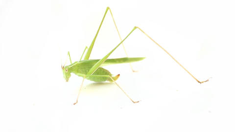Long-legged green old pregnant grasshopper Footage