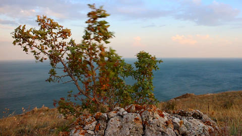 Mountain steppe above sea and bush of hawthorn rustles leaves in wind Footage