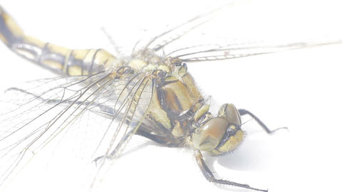 Large dead dragonfly on white background 2. Well visible wings venation Live Action