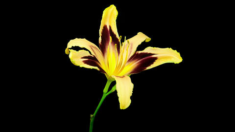 Yellow red daylily flower blooming and fading timelapse Footage