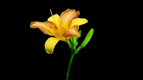 Yellow orange daylily flower blooming and fading timelapse Footage
