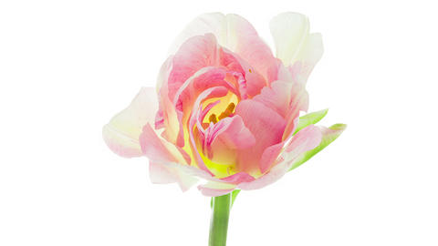 Light pink double peony tulip flower blooming timelapse Archivo