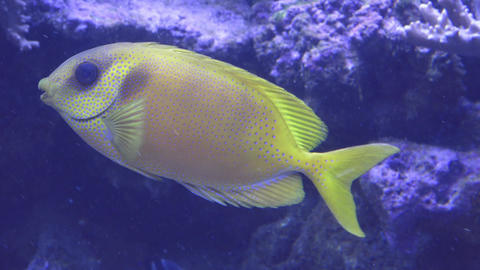 Big yellow exotic fish in water. (Siganus tetrazonus) Footage