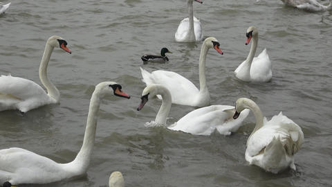 Swans float. White swans. Water bird species Live Action