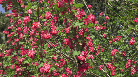 Bumblebee flying to a flowering currant (Ribes sanguineum) Image