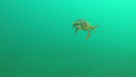 游動中的蝦蛄 Footage